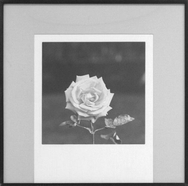 Robert Mapplethorpe (1946 - 1989) ROSE, 1977 Gelatin silver print 20 x 16 inches 50.8 x 40.6 centimeters unique NEG#78.26 CR# MA.1247