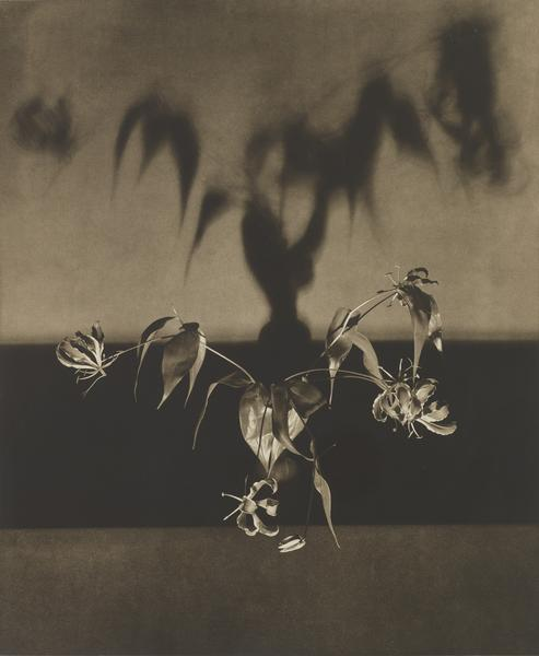 Robert Mapplethorpe (1946 - 1989) UNTITLED (FLOWERS) FROM THE PORTFOLIO 'FLOWERS', 1983 Toned photogravure 31 1/4 x 24 1/2 inches 79.4 x 62.2 centimeters Edition 5/40 MAP# CG2005-07 CR# MA.8103.5
